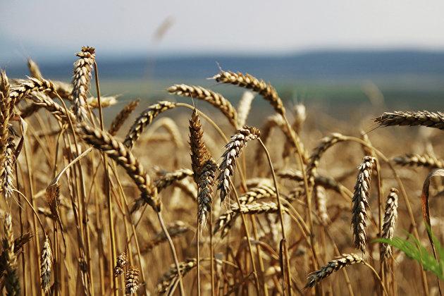 Экспорт зерна в Новосибирской области увеличился на треть
